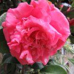 【奈良】中将姫ゆかりの花の寺「石光寺」の御朱印