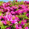 【京都】満開のツツジを愛でる♪宇治に佇む花の寺「三室戸寺」の御朱印