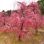 【三重】赤・白・ピンクのしだれ梅が満開♪「菅原神社」の御朱印