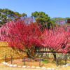 【三重】梅まつり開催中!350本のしだれ梅が咲き誇る♪「結城神社」の御朱印&らーめん「ぐち屋」